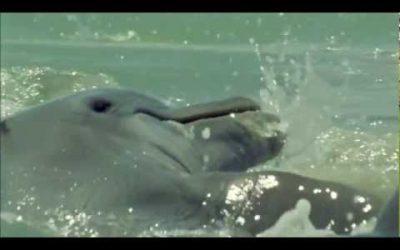 Delfines pescando con «red»